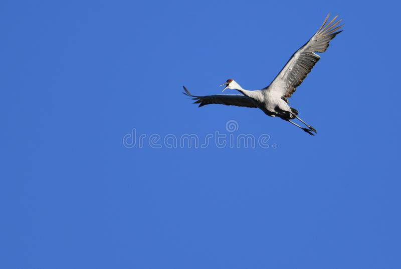 Sandhill Crane flying high above stock photos