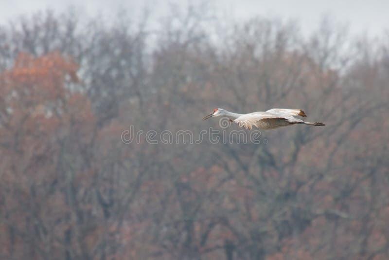 Sandhill Crane Glide Across Tress fotos de stock