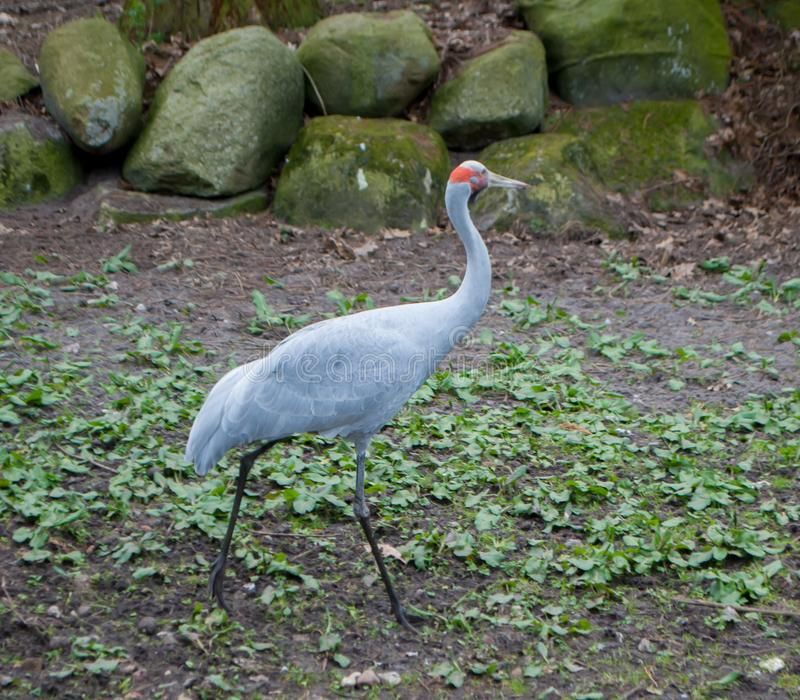 A sandhill crane, gray with red head, walking on the grass stock photo