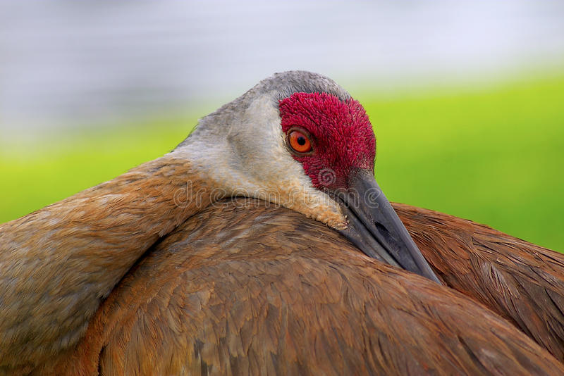 Sandhill Crane, Grus canadensis royalty free stock images