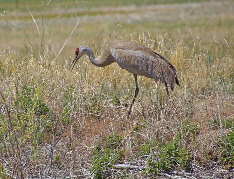 Download Sandhill Crane (Grus Canadensis) Royalty Free Stock Photo - Image: 31352725
