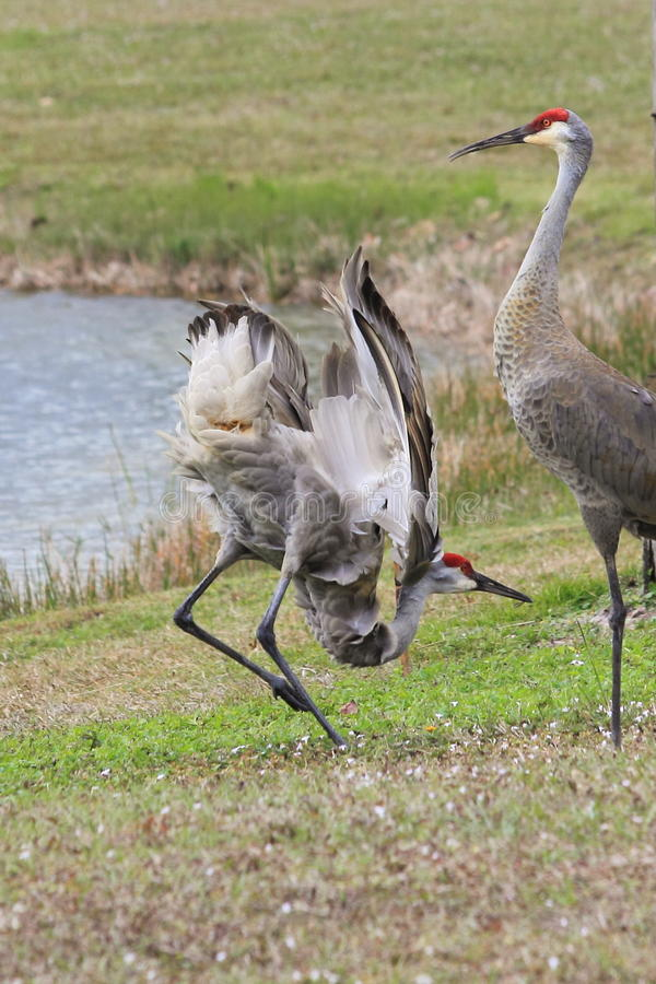 Sandhill Crane Mating Ritual royalty free stock photo