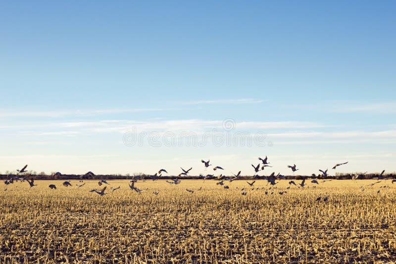Sandhill Crane Migration Over Cornfield en el Cercano oeste americano imagen de archivo