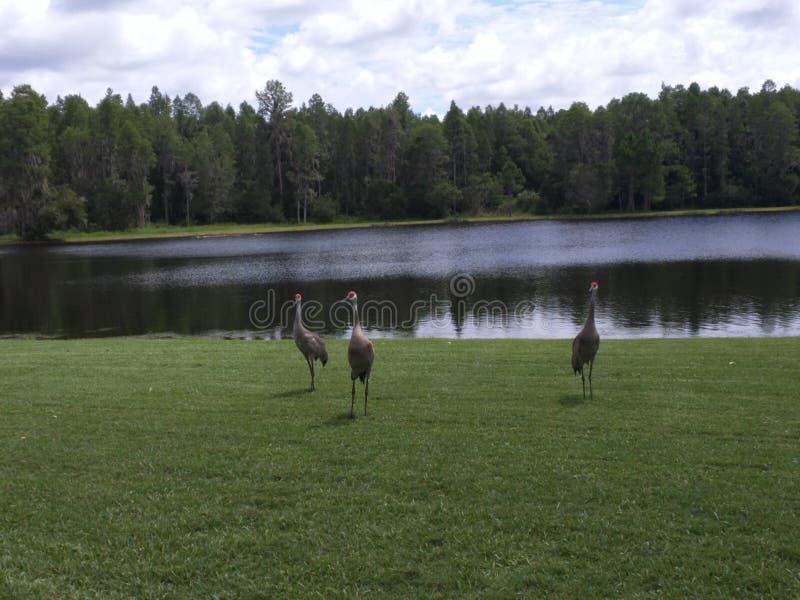 Sandhill Crane Near Lake, Grus-canadensis royalty-vrije stock afbeeldingen