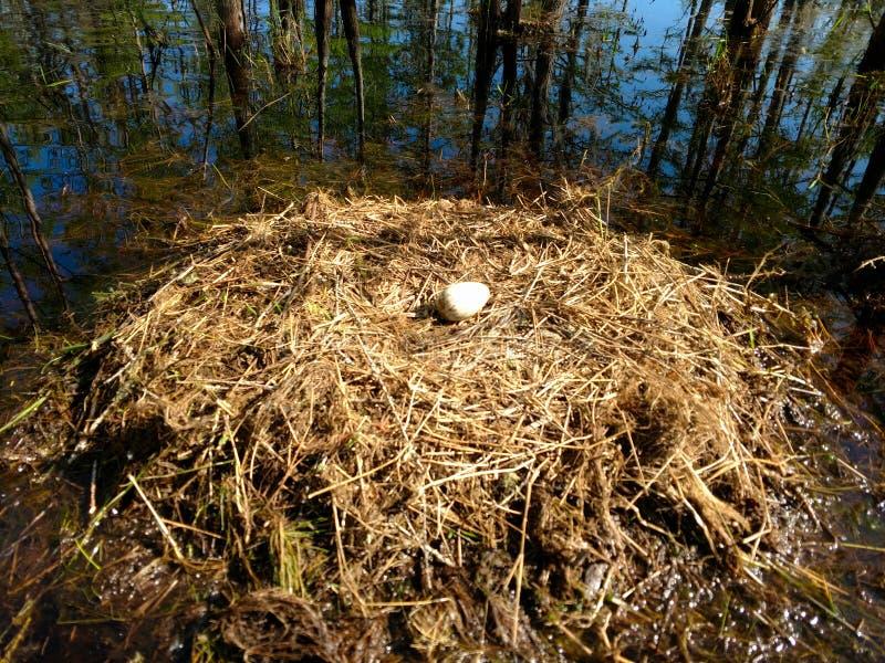 Sandhill crane nest with egg stock photo
