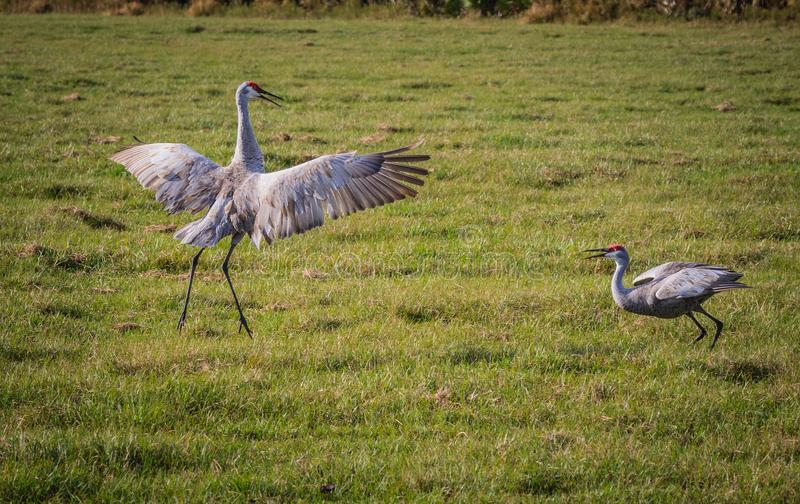 Sandhill crane pair do mating dance. In Florida in spring stock images