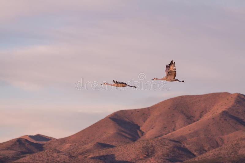 Sandhill Crane Pair en troupeau photographie stock libre de droits