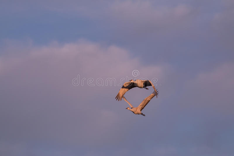 Sandhill Crane Pair Flying image stock