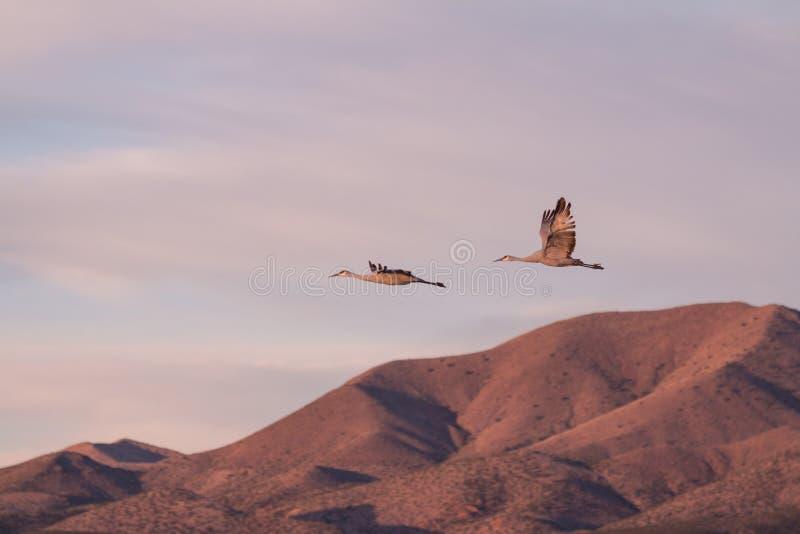 Sandhill Crane Pair no rebanho fotografia de stock royalty free