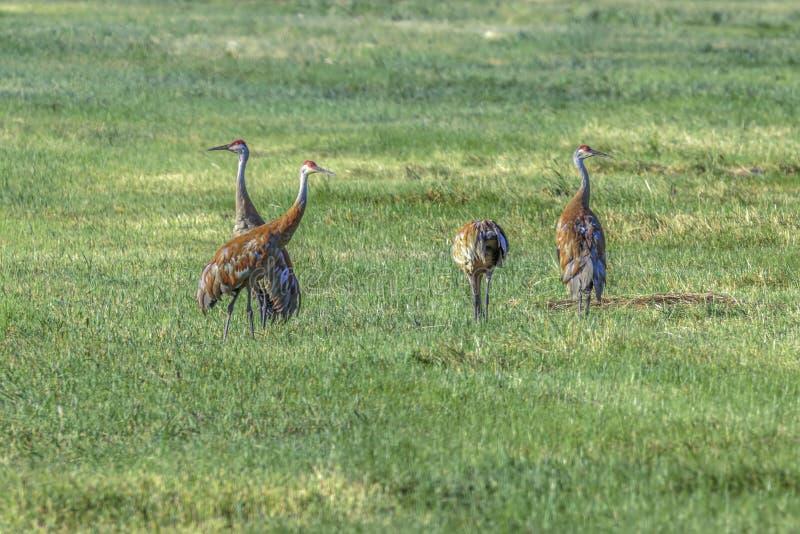 Sandhill Crane Pairs foto de archivo libre de regalías