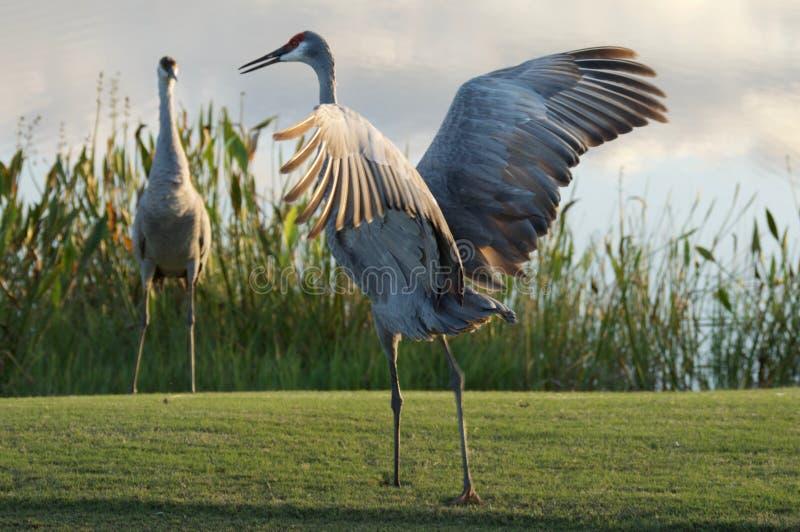 Sandhill Crane Spreading Wings image stock