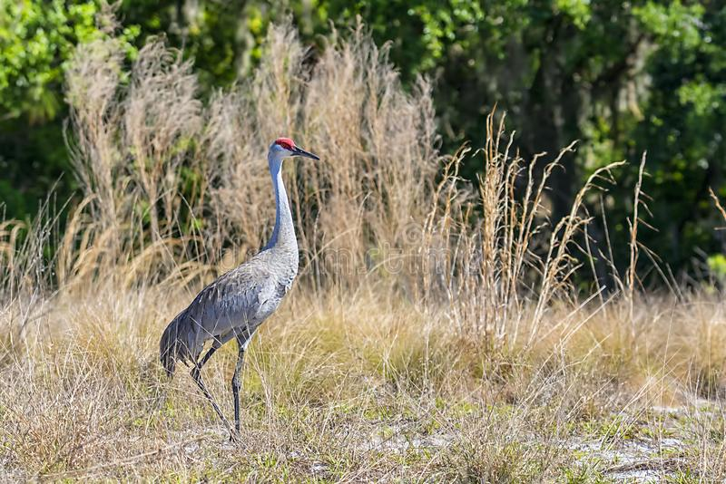 Sandhill Crane Standing Tall In un campo herboso alto imagenes de archivo