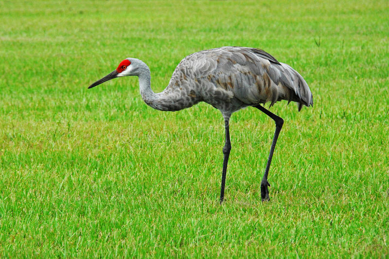 Sandhill Crane Walking fotografia de stock royalty free