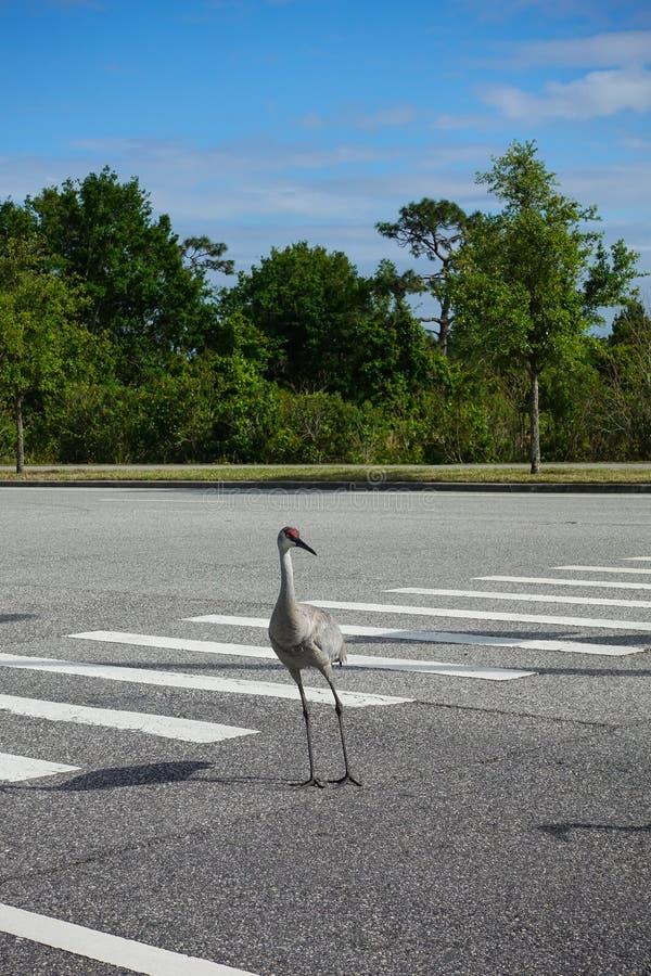 Sandhill Crane walking across a crosswalk stock photography