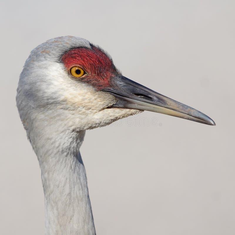 Sandhill Crane royalty free stock images