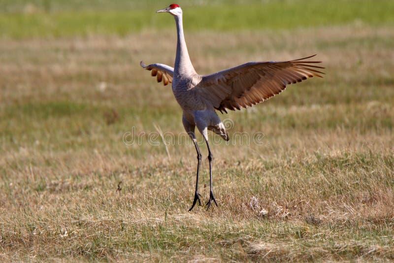 Download Sandhill Cranes stock photo. Image of animal, display - 15463626
