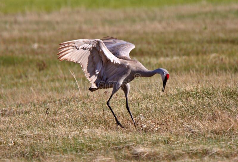 Download Sandhill Cranes stock photo. Image of display, sandhill - 15463634