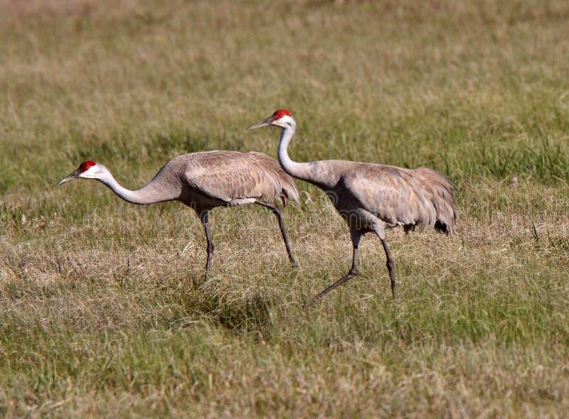 Download Sandhill Cranes stock photo. Image of american, digital - 15463642