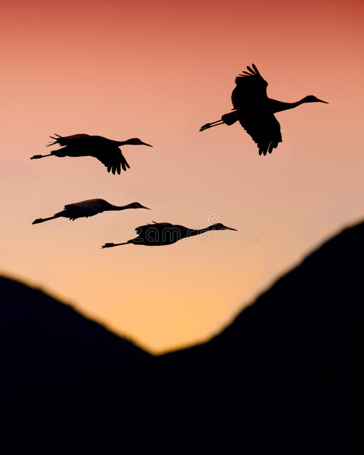 Download Sandhill Cranes stock photo. Image of states, outside - 28439224