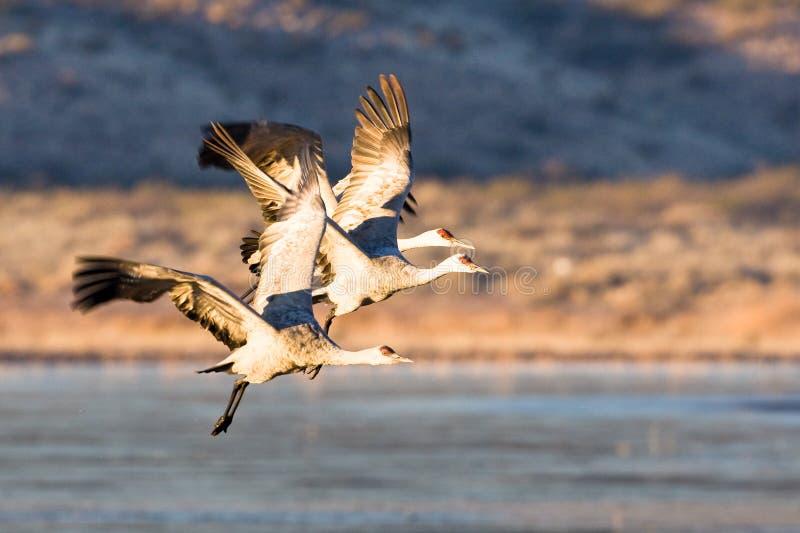 Sandhill Cranes en vuelo imagenes de archivo