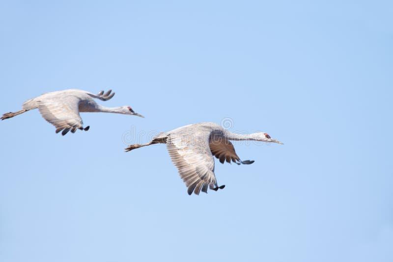 Sandhill Cranes en vuelo imagen de archivo libre de regalías