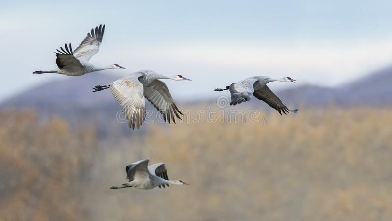 Sandhill Cranes in flight - Bosque del Apache NWR, New Mexico. Group of four Sandhill Cranes Grus canadensis in flight with the mountains of Bosque del Apache stock photo