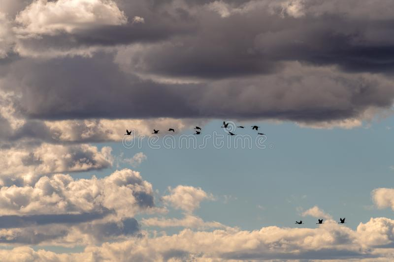Sandhill Cranes fly by against a blue cloudy sky royalty free stock image