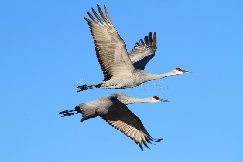 Sandhill Cranes (Grus canadensis) stock photography