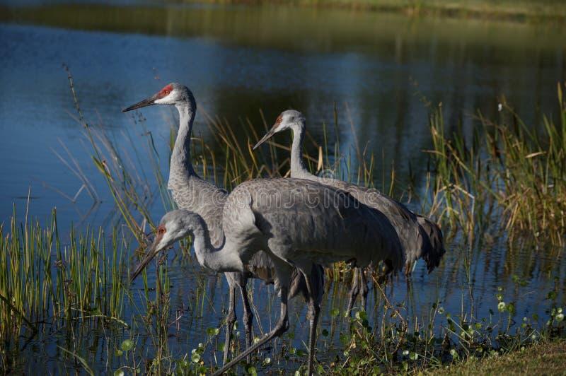 Sandhill Cranes la alimentación por el borde del ` s del agua imagen de archivo