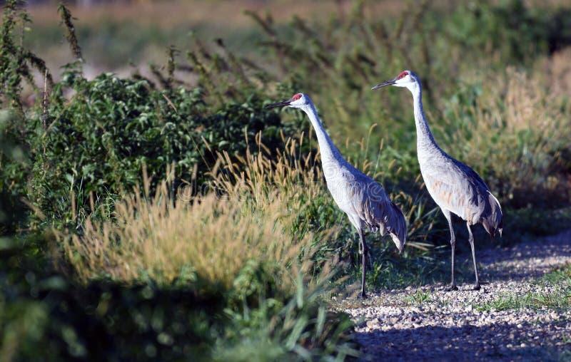 Sandhill Cranes looking for breakfast stock image