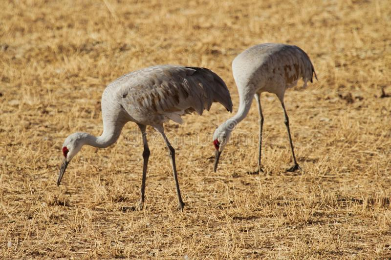 Sandhill Cranes in New Mexico. Bosque del Apache near Socorro, New Mexico has many diverse species of birds and wildlife. Snow Geese, Great Blue Herons and stock image