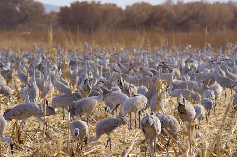 Sandhill cranes. Flocking and feeding in a corn patch stock images