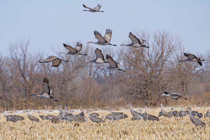 Sandhill Cranes som startar från ett Farm Field royaltyfria bilder
