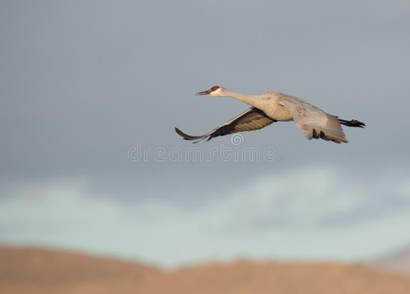 Sandhill dźwigowy latanie przez góra wierzchołek przy wschodem słońca obraz royalty free