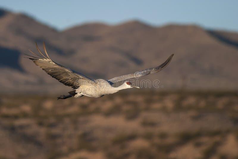 Sandhill dźwigowy latanie z niebieskim niebem i górami w tle zdjęcia stock