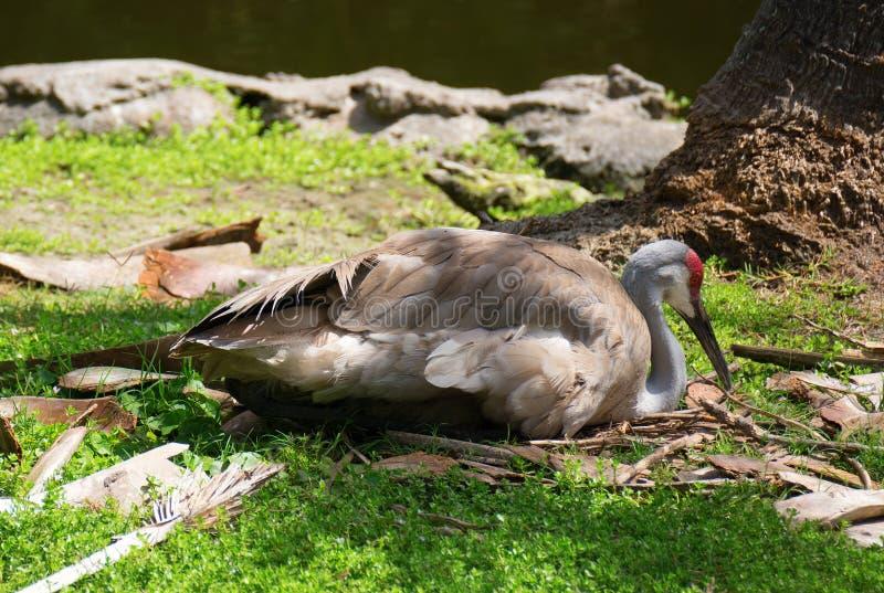 Sandhill-Kran, der auf Eiern durch See in Florida sitzt lizenzfreie stockfotografie