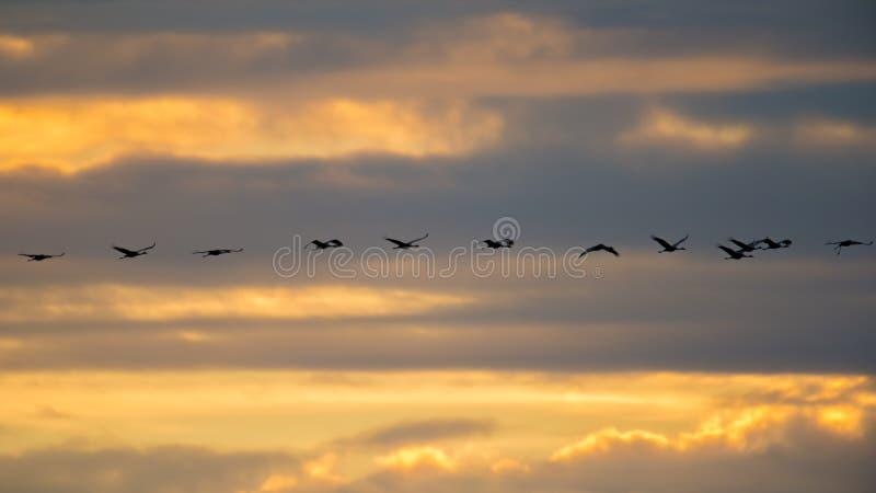 Sandhill sträcker på halsen i flykten den bakbelysta konturn med guld- gul och orange himmel på skymning/solnedgången under nedgå royaltyfri bild