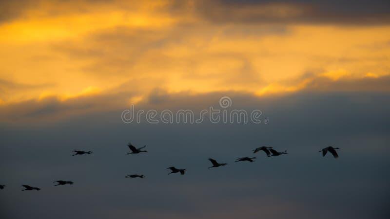 Sandhill sträcker på halsen i flykten den bakbelysta konturn med guld- gul och orange himmel på skymning/solnedgången under nedgå arkivbilder