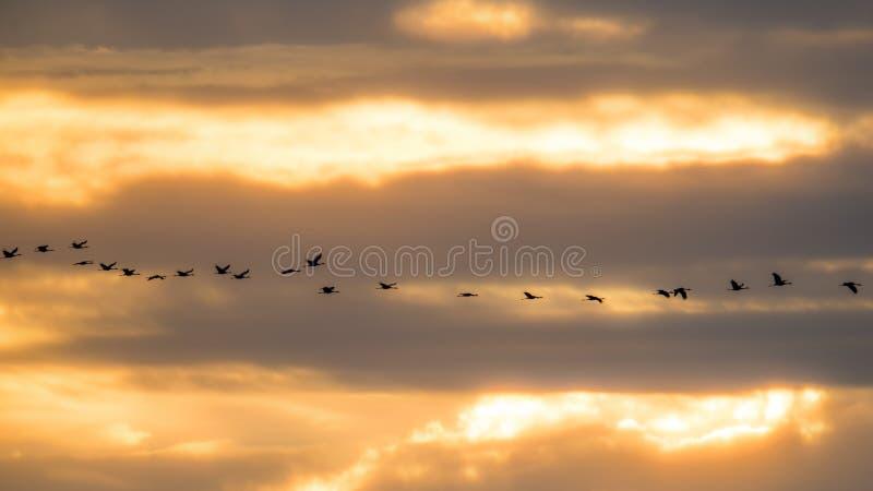 Sandhill sträcker på halsen i flykten den bakbelysta konturn med guld- gul och orange himmel på skymning/solnedgången under nedgå arkivbild