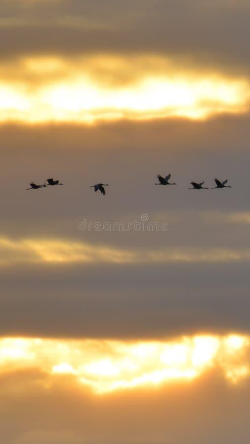 Sandhill sträcker på halsen i flykten den bakbelysta konturn med guld- gul och orange himmel på skymning/solnedgången under nedgå royaltyfri foto