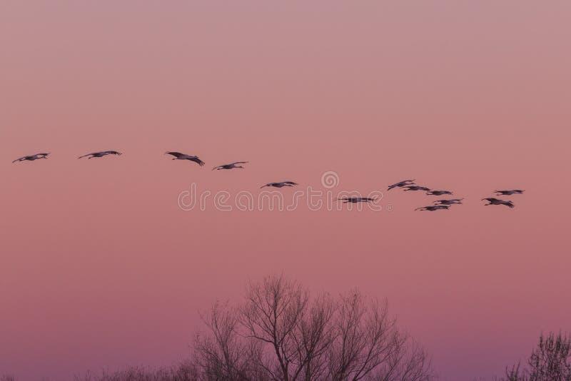 Sandhill tend le cou le vol au lever de soleil image libre de droits