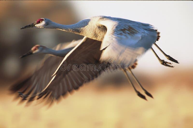 Sandhill tend le cou le vol avec le ciel bleu et les montagnes à l'arrière-plan photographie stock libre de droits