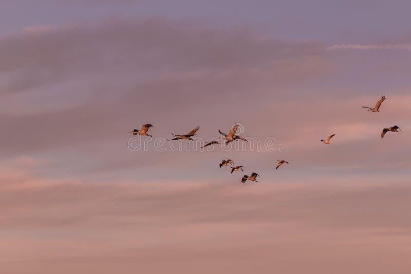 Sandhill tend le cou le vol dans la lumière de début de la matinée photos stock