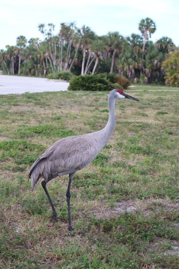 Sandhillkraan, Grus-canadensis, die in park, Fort DE Soto Park, St. Petersburg, Florida, de V.S. lopen stock afbeeldingen