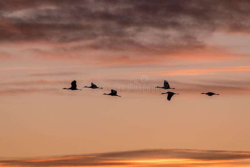 Sandhillkranen bij zonsopgang royalty-vrije stock afbeeldingen