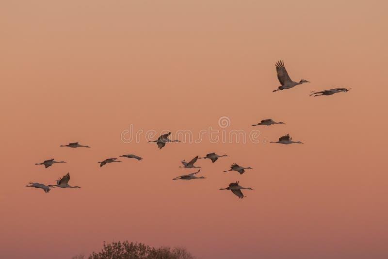 Sandhillkranen bij zonsopgang royalty-vrije stock fotografie