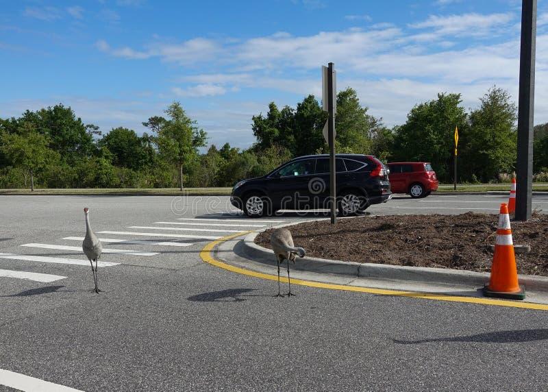Sandhillkranen die zich in het midden van het weg blokkerende verkeer bevinden stock fotografie