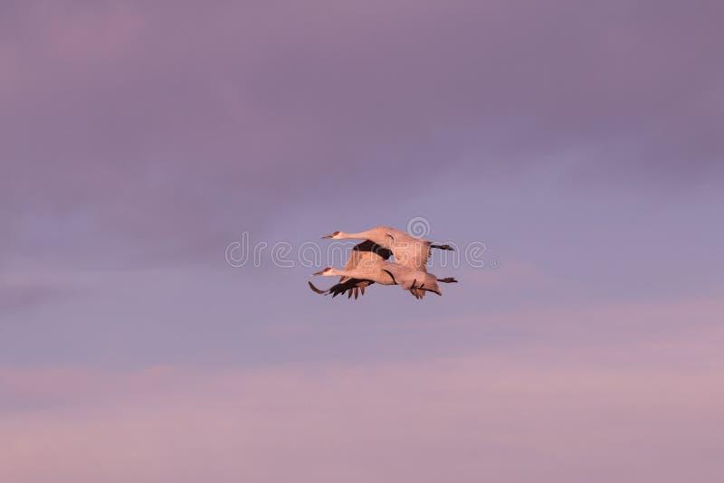 Sandhillkranen het Vliegen stock fotografie