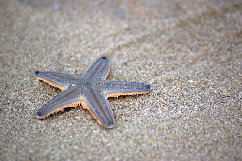 sandig sjöstjärna för strand arkivfoton