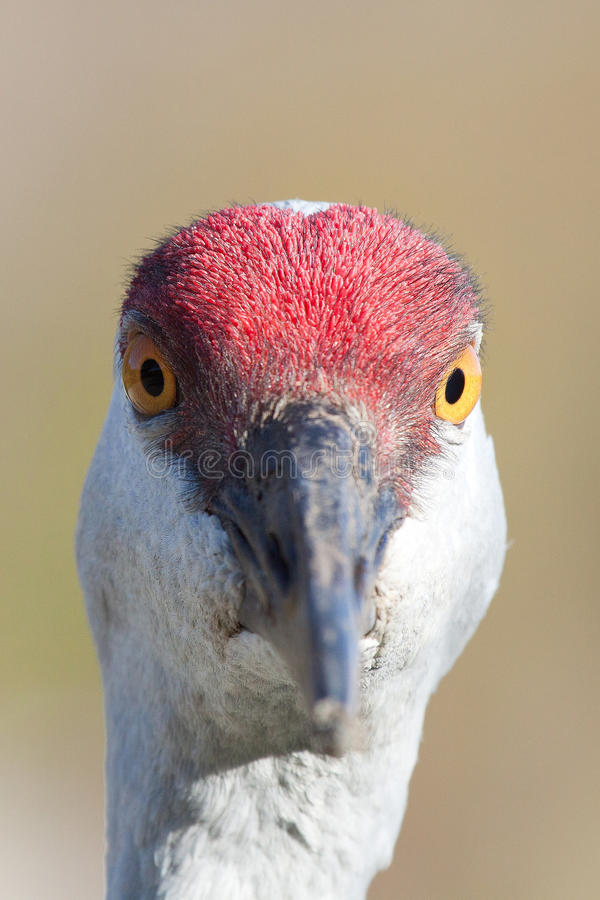 Sandkulle Crane Close Up royaltyfria bilder